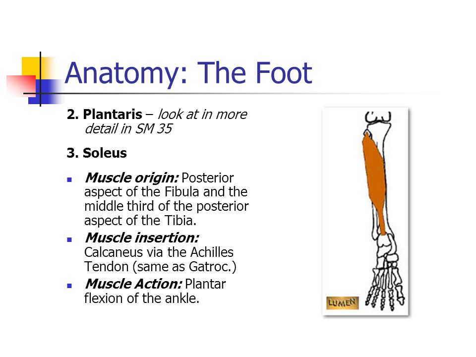 Anatomy: The Foot 2. Plantaris – look at in more detail in SM 35