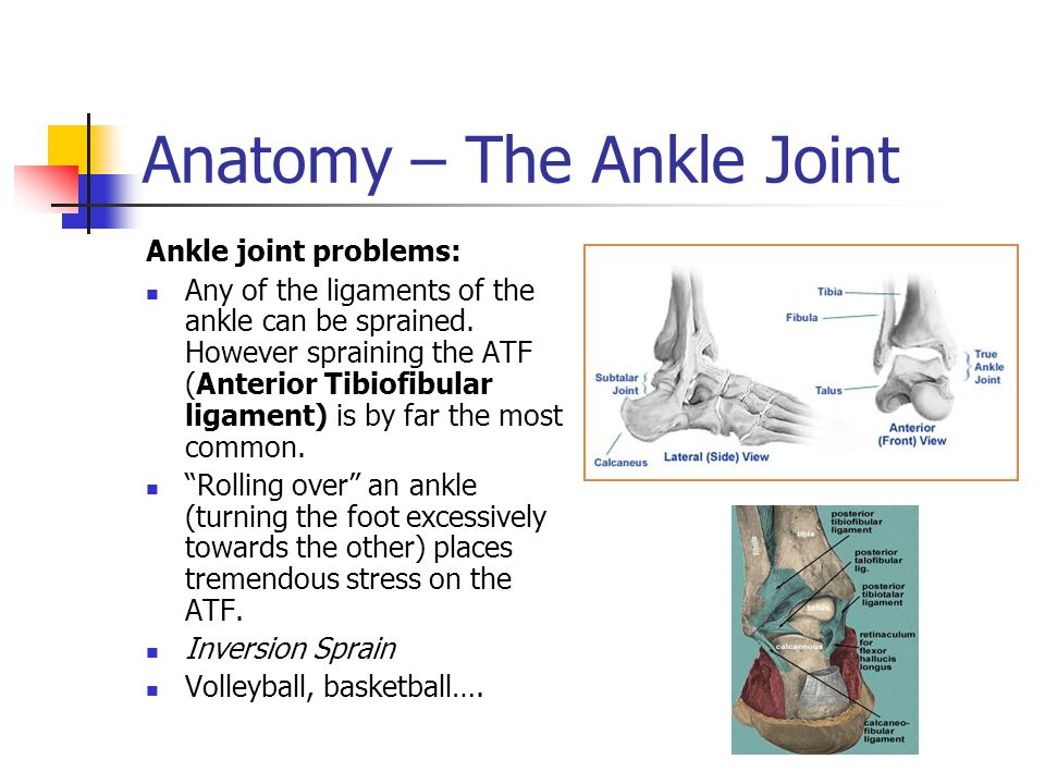 Anatomy – The Ankle Joint
