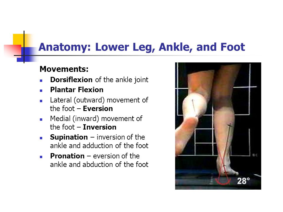 Anatomy: Lower Leg, Ankle, and Foot