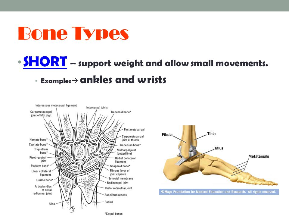 Bone Types SHORT – support weight and allow small movements.