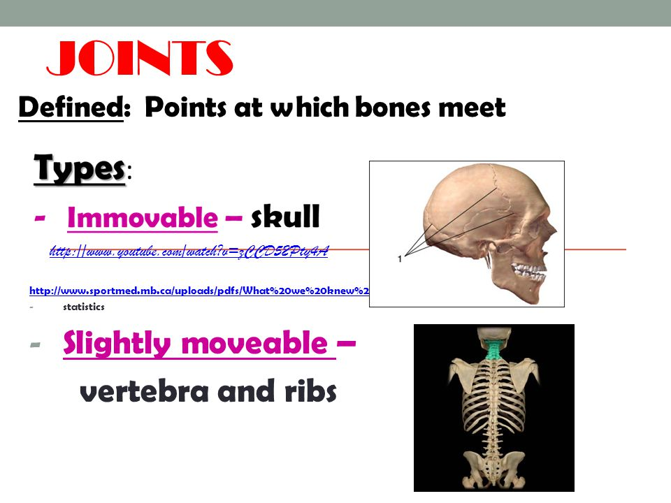 Joints Slightly moveable – vertebra and ribs