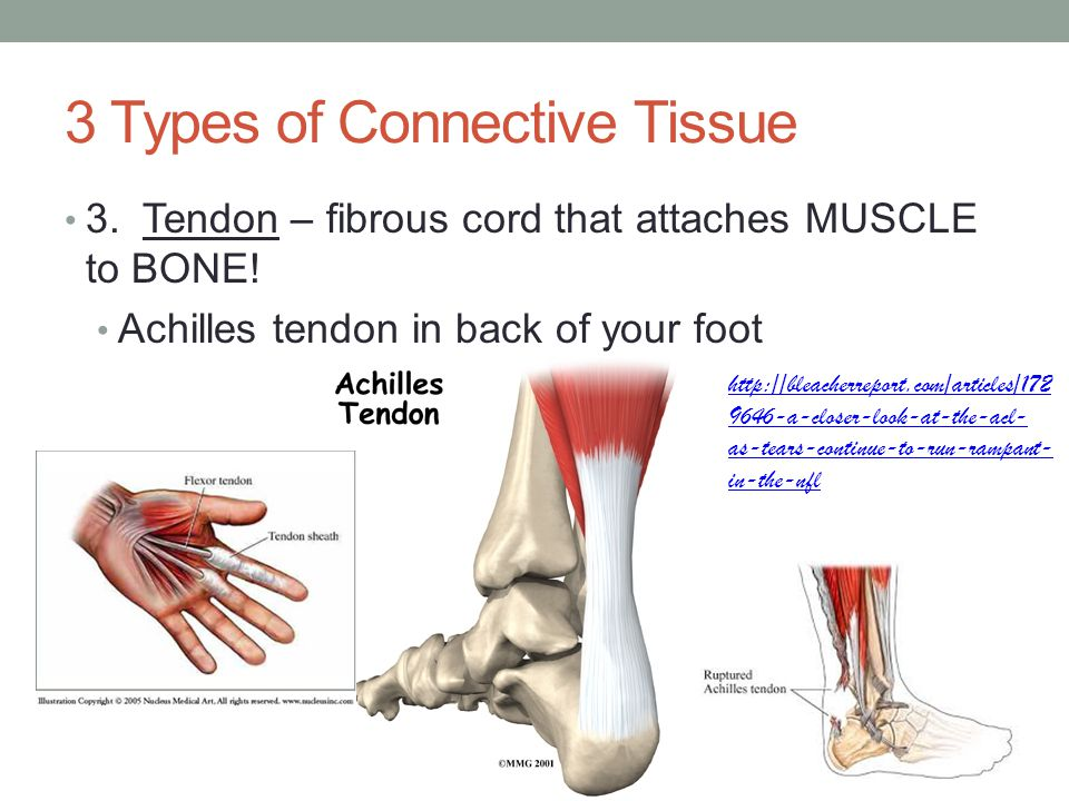 3 Types of Connective Tissue