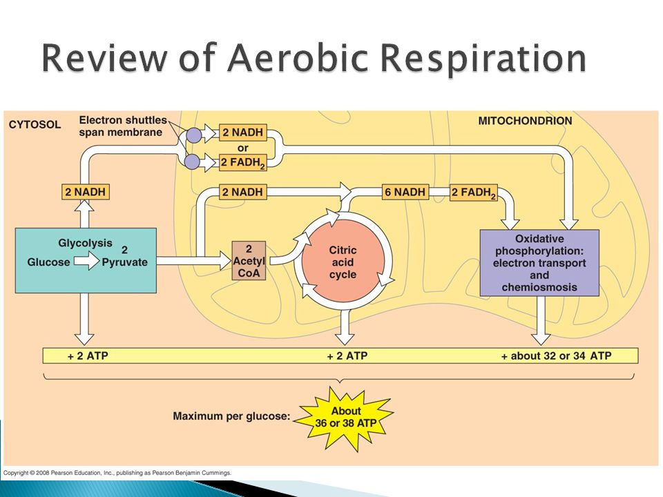 Review of Aerobic Respiration