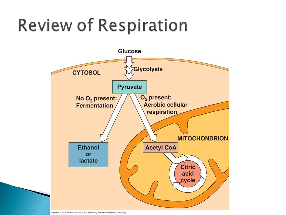 Review of Respiration