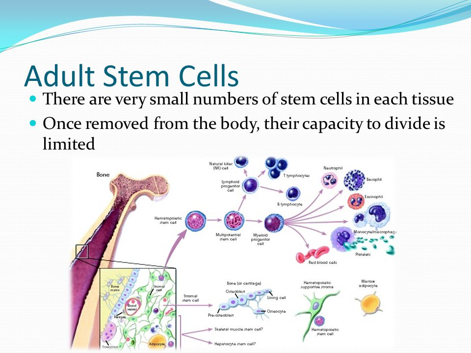 Apologise, but, adult cell culture stem