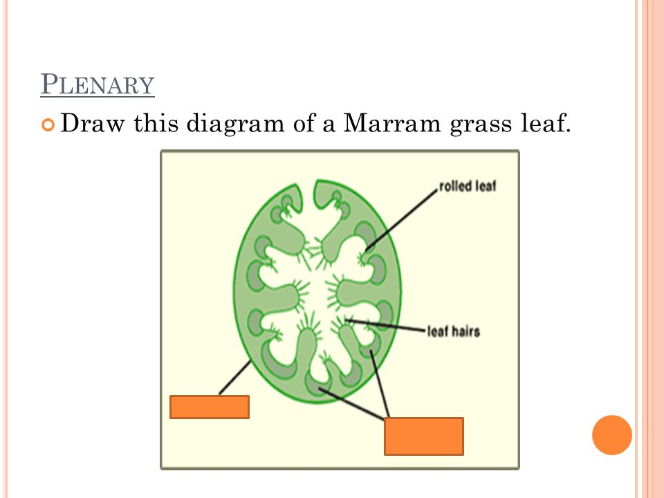 Grass Leaf Anatomy Diagram - Download Wiring Diagrams •