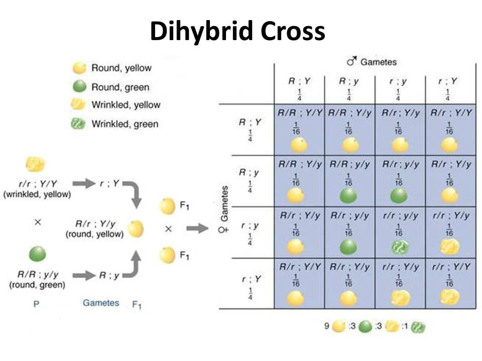 Patterns And Processes In Inheritance Ppt Video Online Download. 51 Dihybrid Cross. Worksheet. Spongebob Dihybrid Crosses Worksheet Answers At Mspartners.co