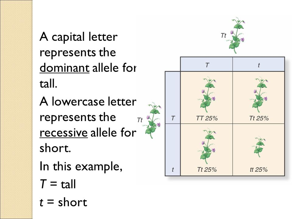 A capital letter represents the dominant allele for tall.