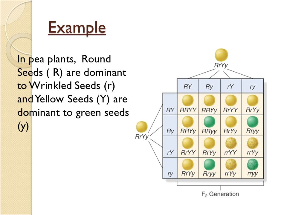 Example In pea plants, Round Seeds ( R) are dominant to Wrinkled Seeds (r) and Yellow Seeds (Y) are dominant to green seeds (y)