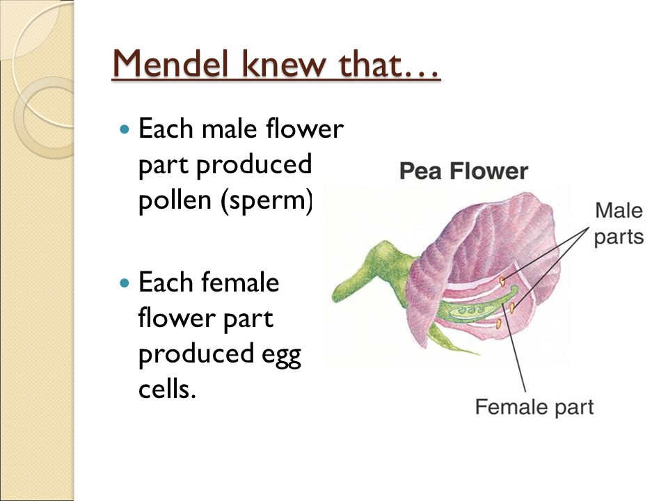 Mendel knew that… Each male flower part produced pollen (sperm)