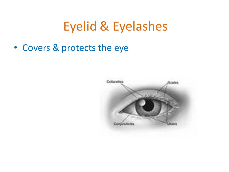 Eyelid & Eyelashes Covers & protects the eye