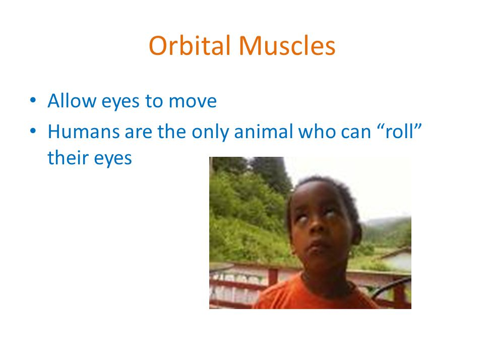 Orbital Muscles Allow eyes to move