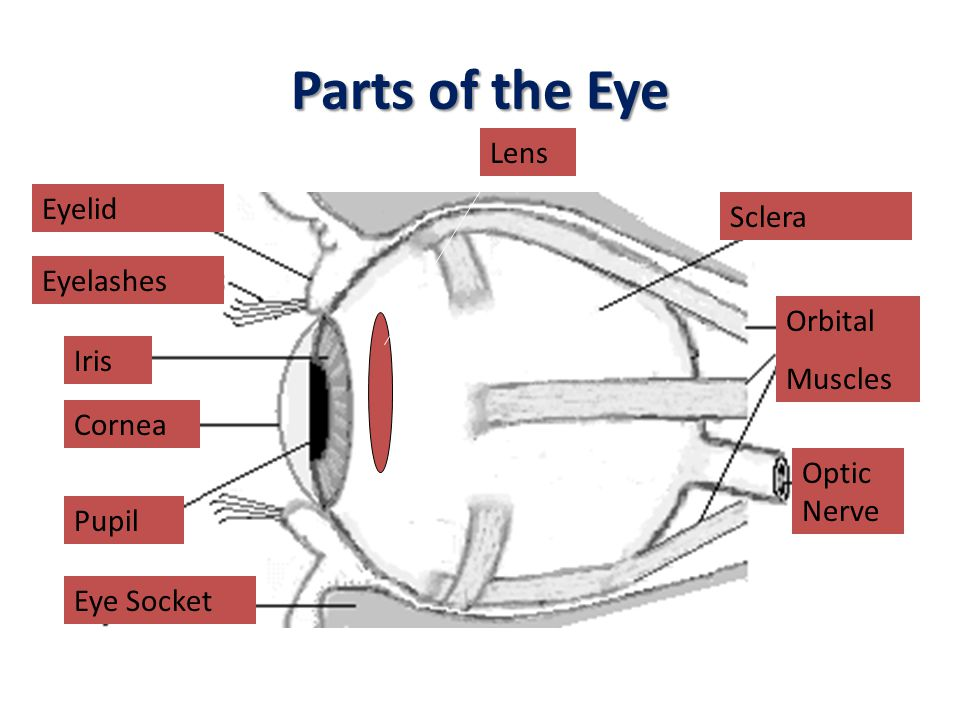 Parts of the Eye Lens Eyelid Sclera Eyelashes Orbital Muscles Iris