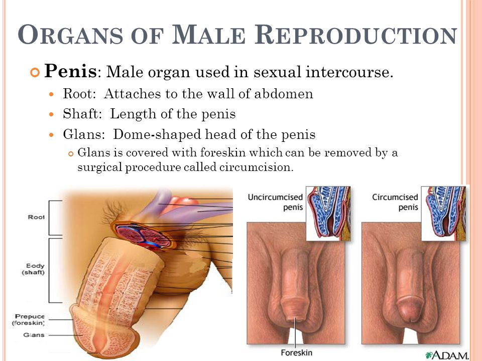 How far along the penile foreskin be retracted in an uncircumcised penis