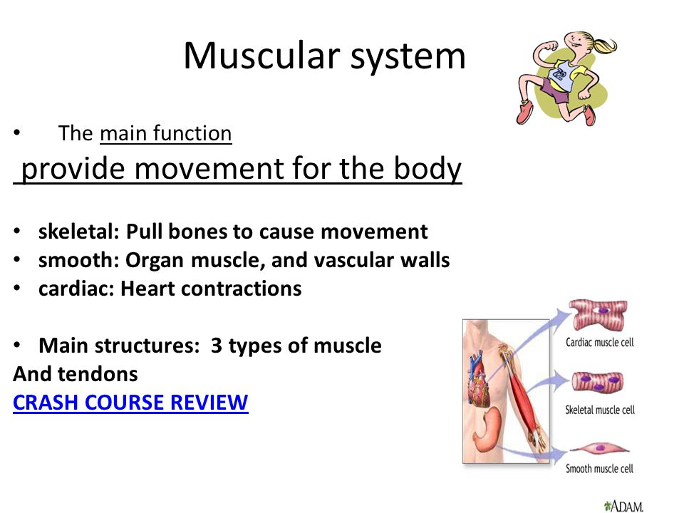 Muscular system provide movement for the body The main function