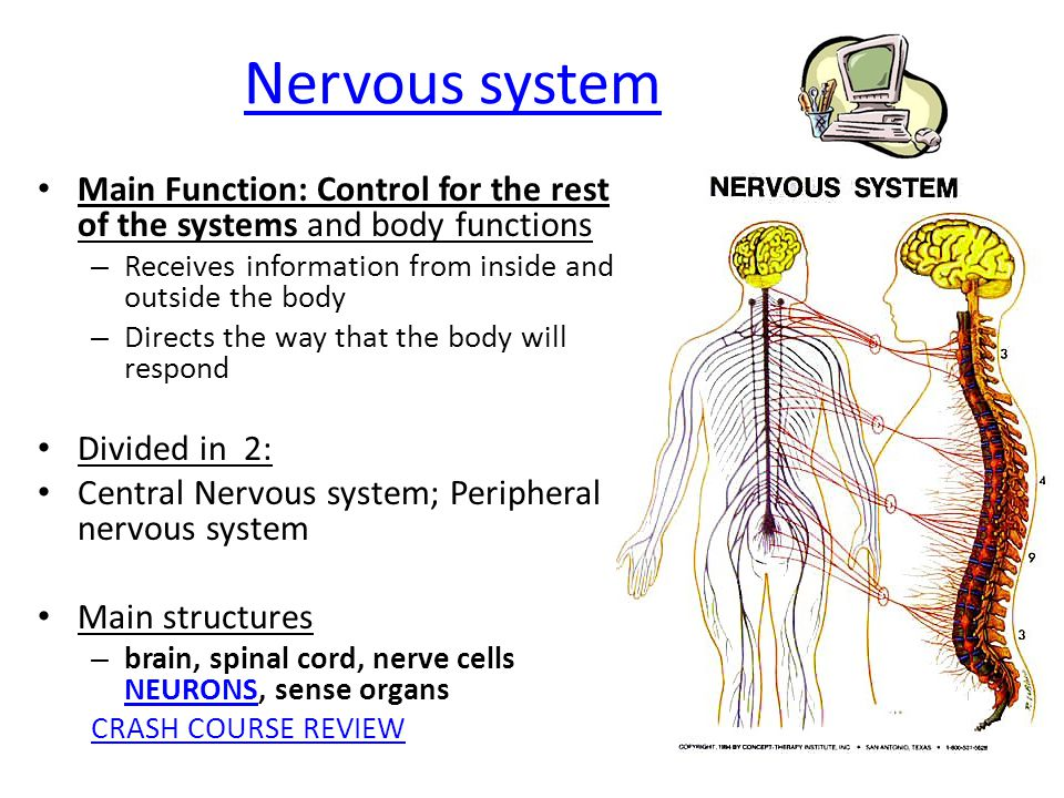 Nervous system Main Function: Control for the rest of the systems and body functions. Receives information from inside and outside the body.