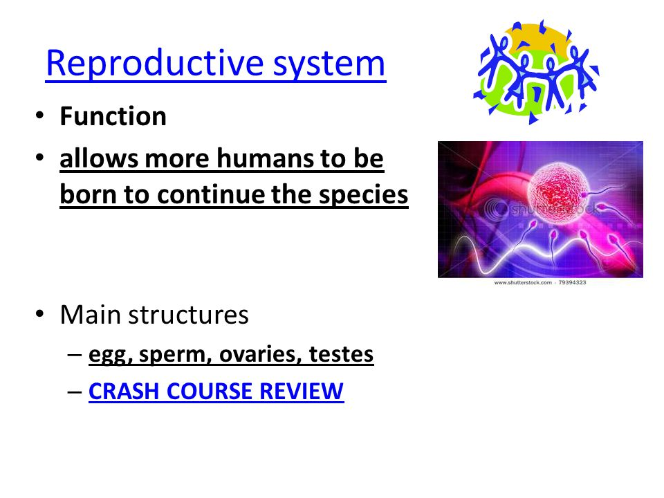 Reproductive system Function