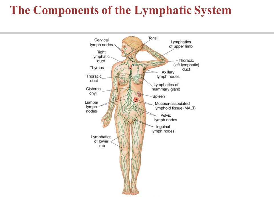 Lecture 22 The Lymphatic System And Immunity Ppt Download