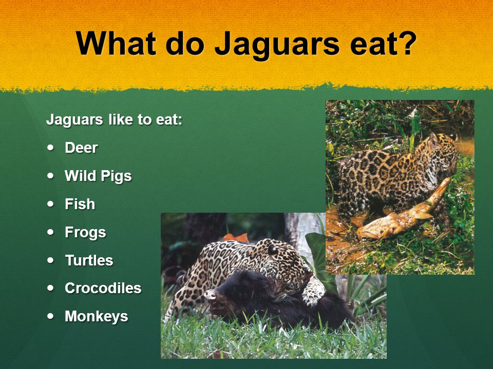 What Do Jaguars Eat >> Jaguars By Thomas Byrd Ppt Video Online Download