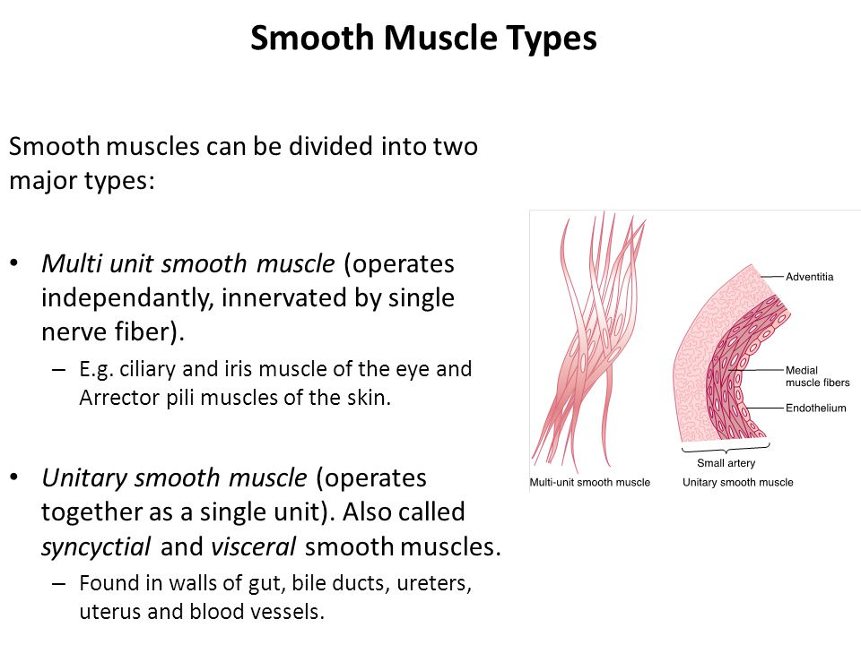 Contraction And Excitation Of Smooth Muscles Arsalan Yousuf Ppt