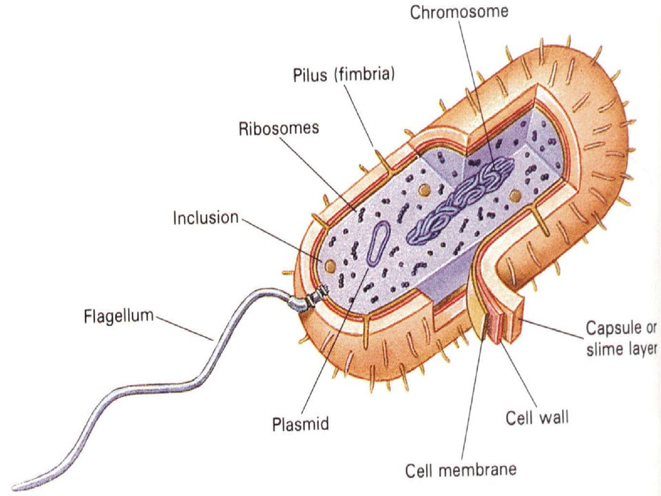 Bacillus anthracis cell diagram auto electrical wiring diagram bacteria and disease anthrax ppt download rh slideplayer com bacillus anthracis gram stain bacillus anthracis in animals ccuart Images