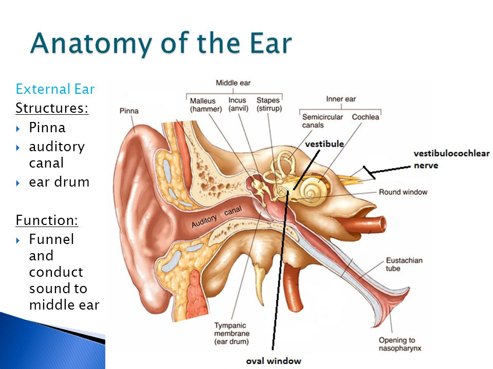 Ear Structure Function Ppt Video Online Download