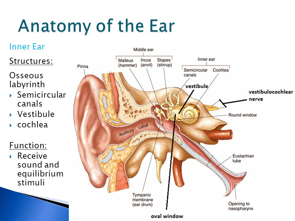 Ear Structure & Function - ppt video online download
