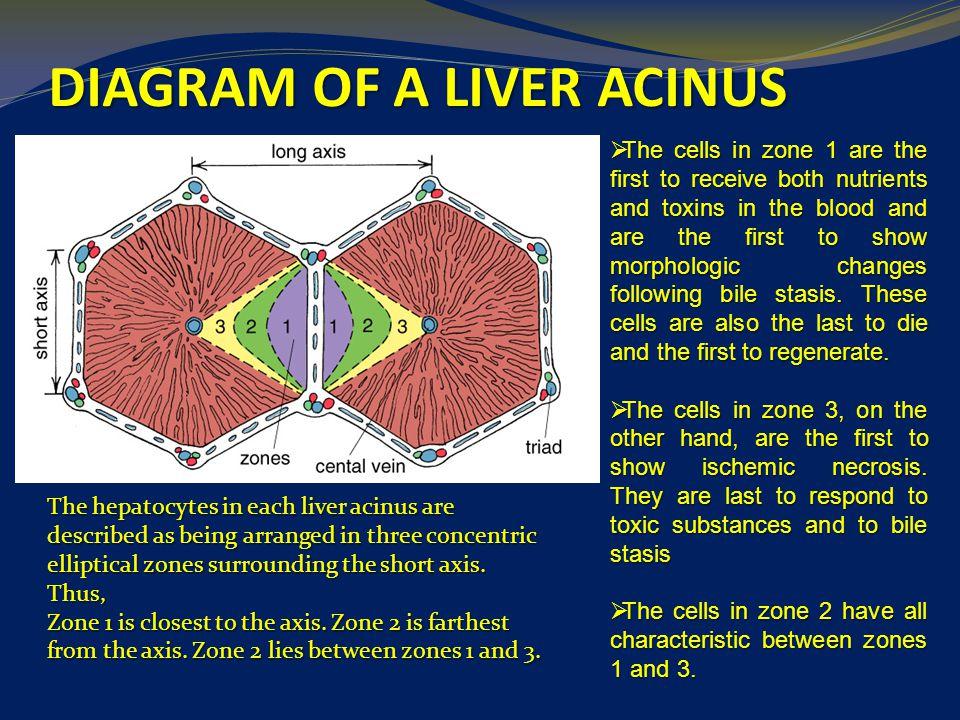 digestive system liver pancreas ppt video online download. Black Bedroom Furniture Sets. Home Design Ideas