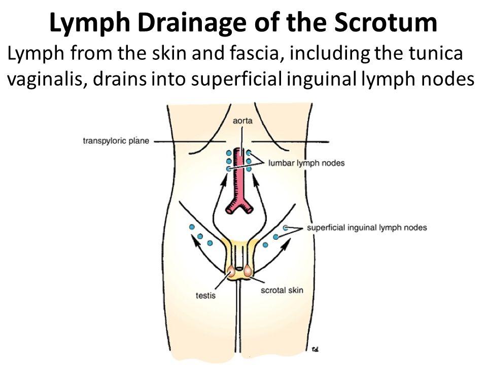 Inguinal Region Secrotum Ppt Video Online Download