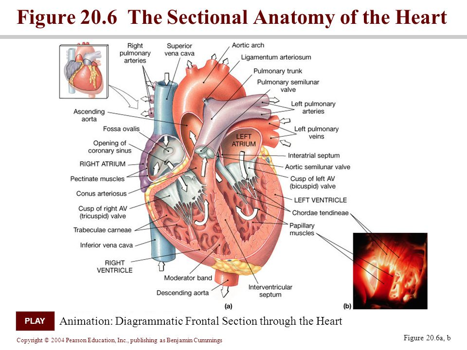 Chapter 20 Part 1 The Heart Ppt Video Online Download