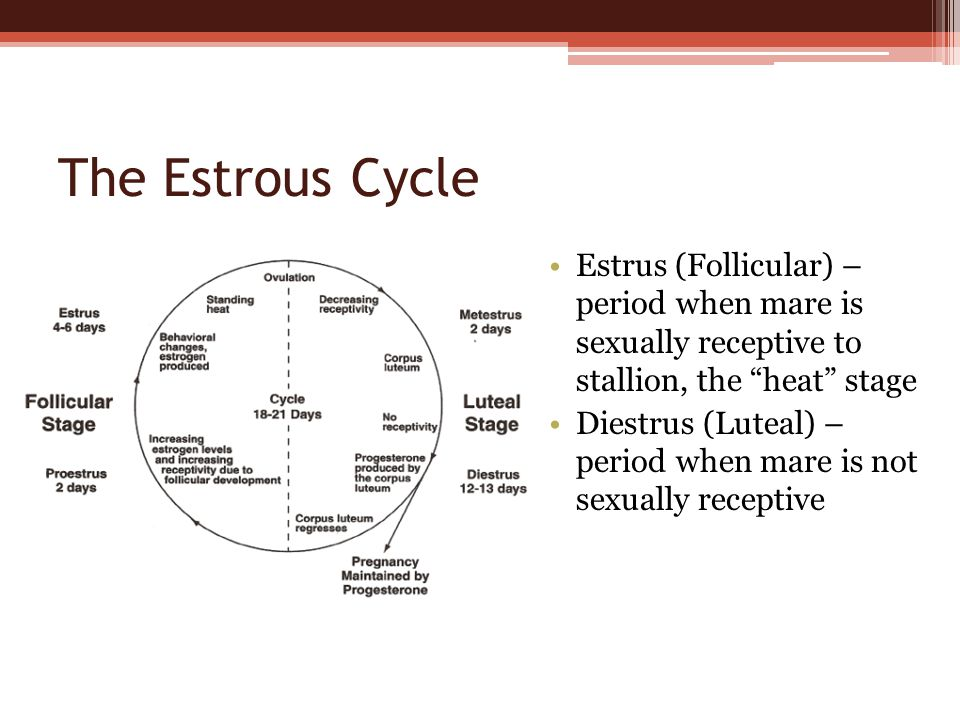 the estrous cycle estrus (follicular) – period when mare is sexually  receptive to stallion