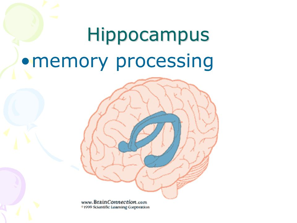 Hippocampus memory processing