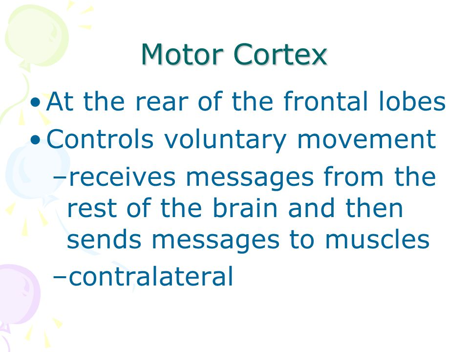 Motor Cortex At the rear of the frontal lobes
