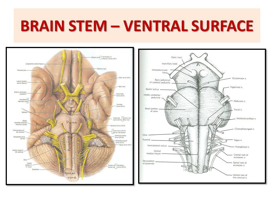 BRAIN STEM EXTERNAL FEATURES - ppt video online download