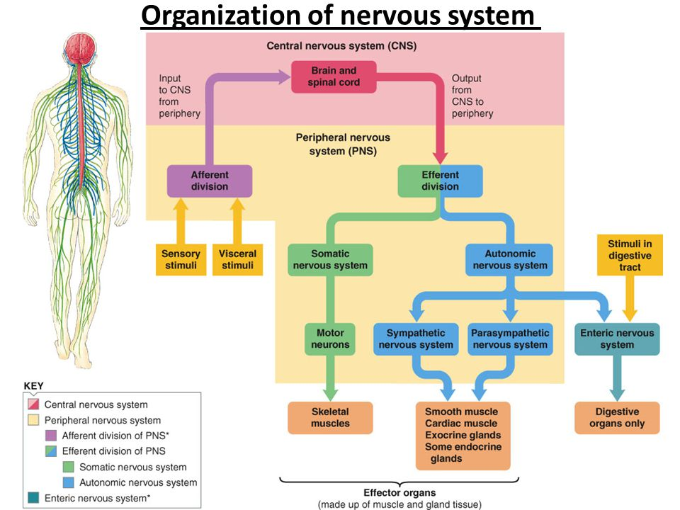 The central nervous systemcns ppt video online download 3 organization of nervous system ccuart Image collections