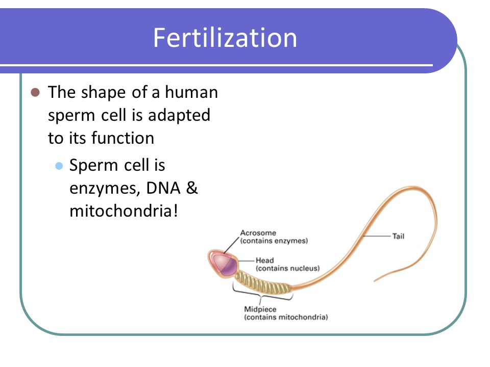Human reproduction ppt video online download fertilization the shape of a human sperm cell is adapted to its function ccuart Images