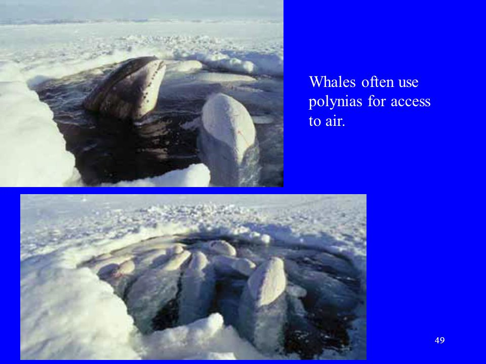 Whales often use polynias for access to air.