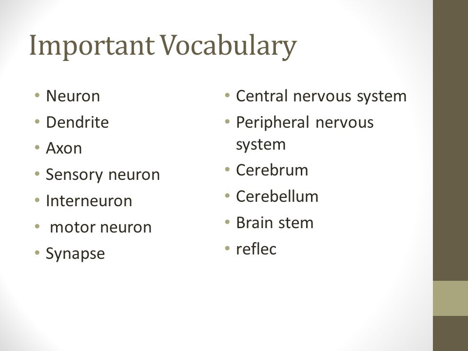 Important Vocabulary Neuron Central nervous system Dendrite