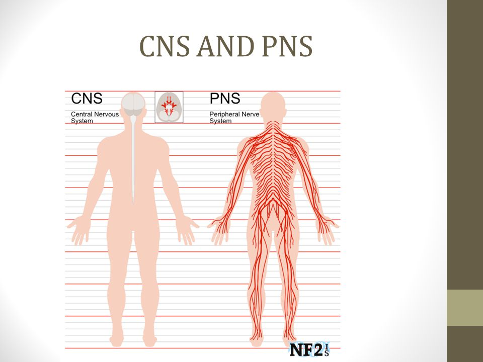 CNS AND PNS
