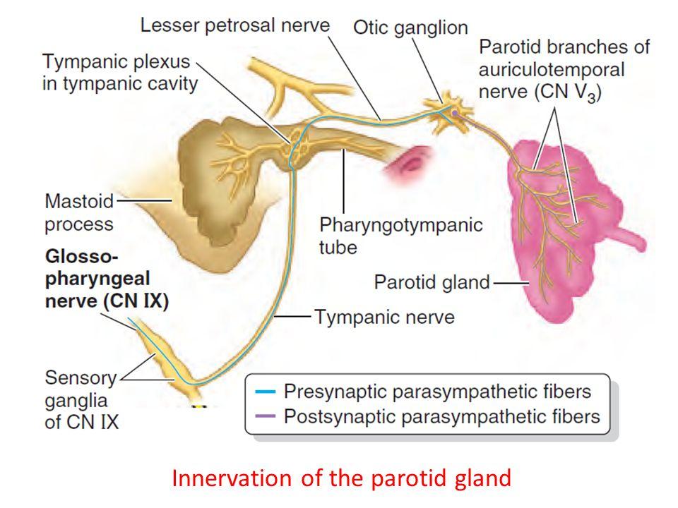 Parotid Gland Anatomy Ppt Choice Image Human Body Anatomy