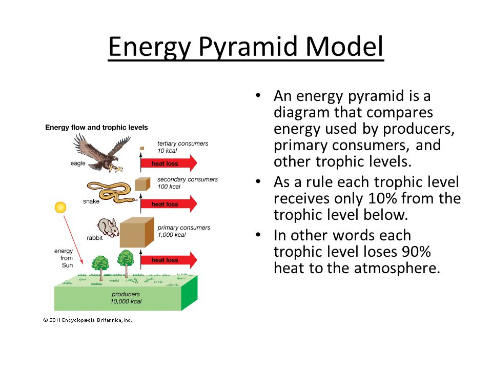 Energy Flow Pyramids And Trophic Levels Ppt Video Online Download
