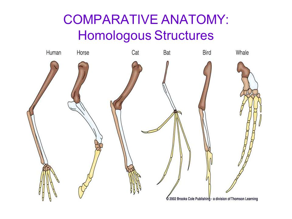 Evidence For Evolution Comparative Anatomy Ppt Video Online Download
