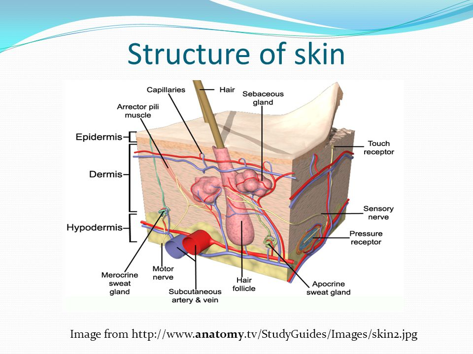 Structure of sense organs ppt download 5 structure of skin image from ccuart Image collections