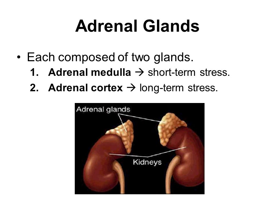 Adrenal Glands Each composed of two glands.