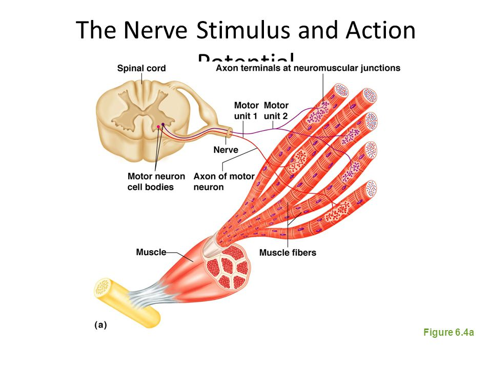 Stimulation And Contraction Of Single Skeletal Muscle Cells Ppt