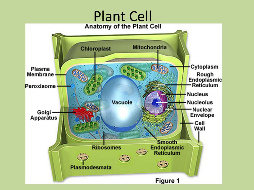 Plant Cell. - ppt download