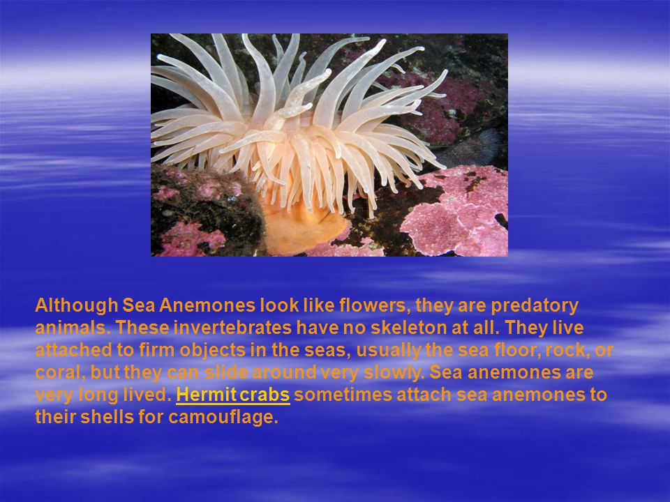 Although Sea Anemones Look Like Flowers They Are Predatory Animals