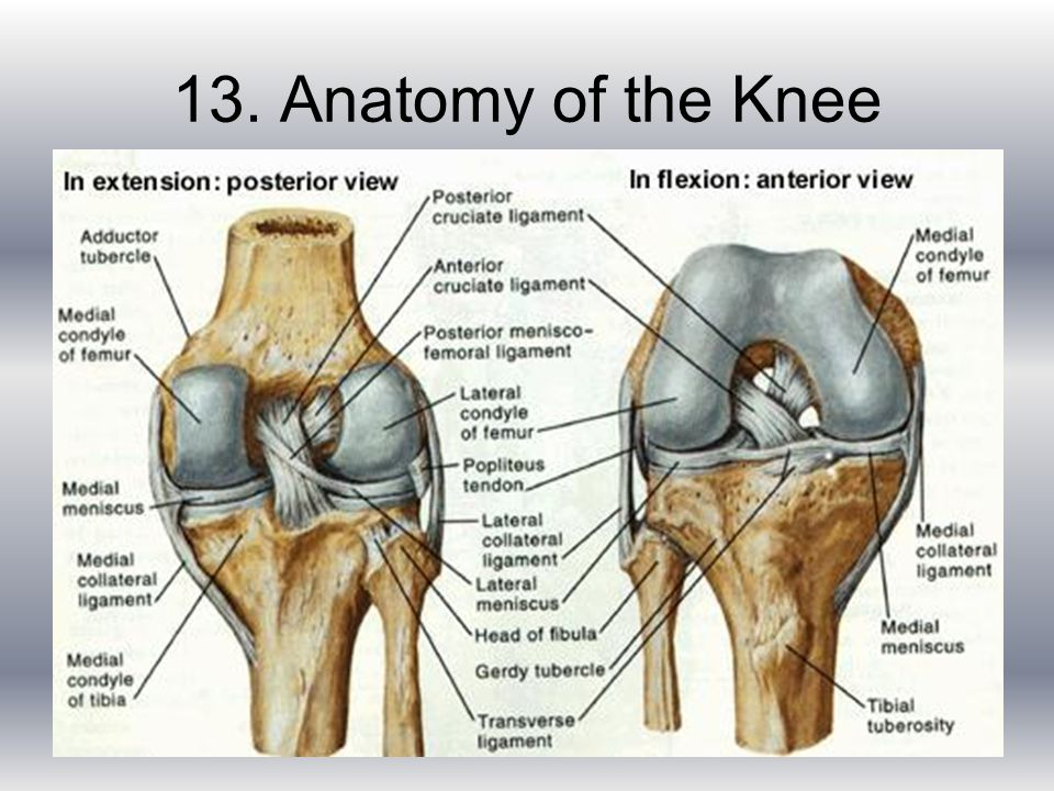 The Knee Joint Deb Risler Jennifer White Fran Moore. - ppt video ...