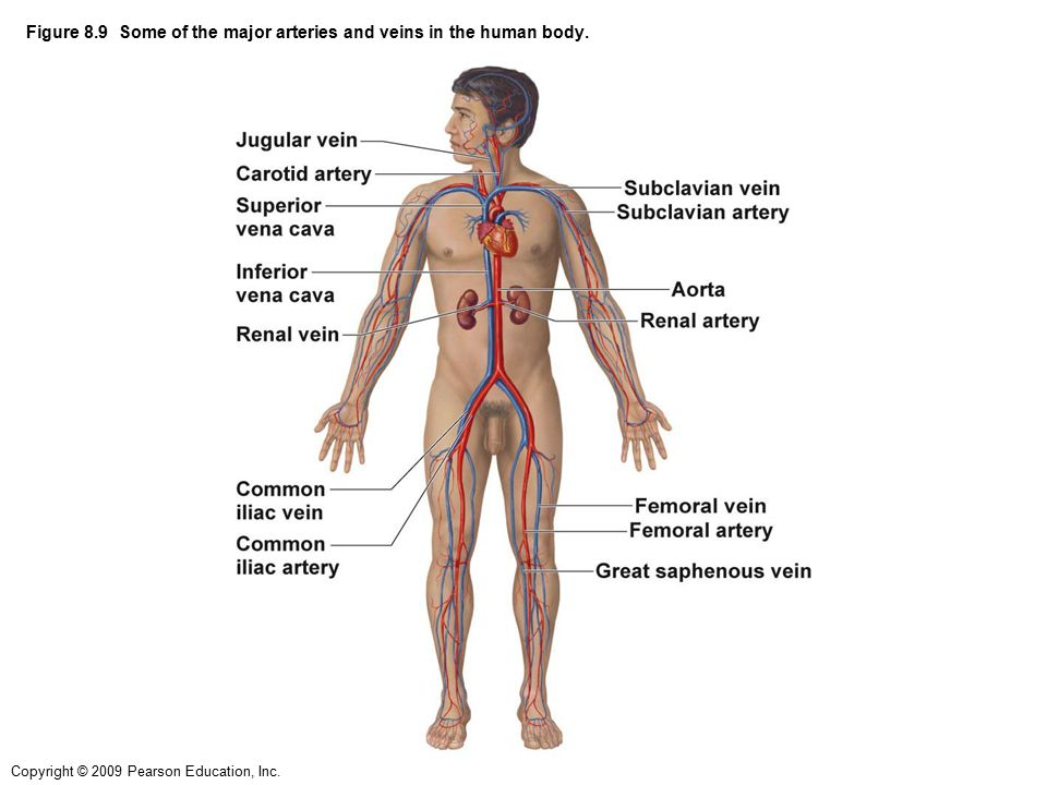 Figure 81 The Structures Of Blood Vessels In The Human Body Ppt