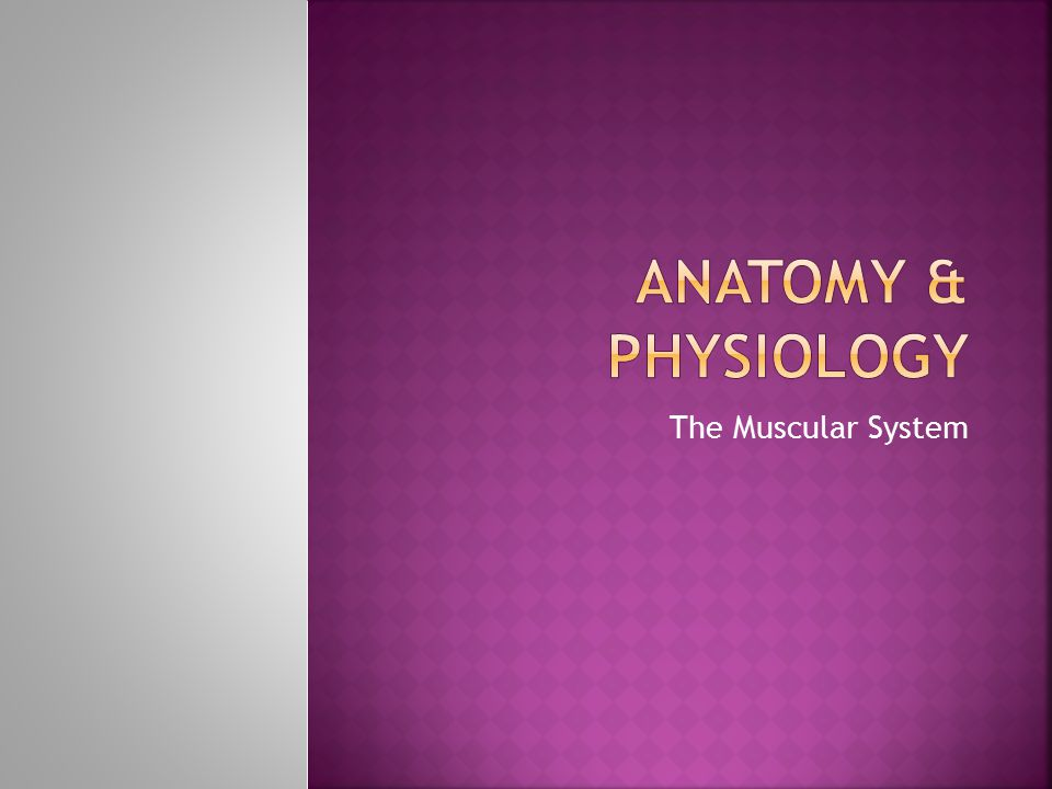 Anatomy & Physiology The Muscular System